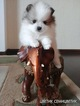 Pomeranian Puppy For Sale in MELROSE, MA, USA