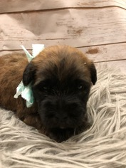 Soft Coated Wheaten Terrier Puppy For Sale in ACTON, TX, USA