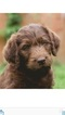 Labradoodle Puppy For Sale in LACEY, WA, USA