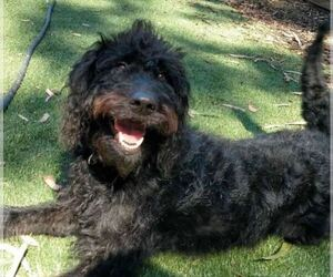 Labradoodle Dog for Adoption in LA MESA, California USA