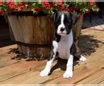 Puppy 9 Boxer