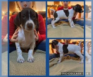 German Shorthaired Pointer Puppy for sale in BRADENTON, FL, USA