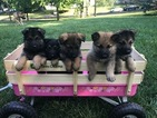 German Shepherd Dog Puppy For Sale in JONESVILLE, MI,