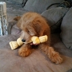 Goldendoodle-Poodle (Miniature) Mix Puppy For Sale in DAYTON, OH, USA
