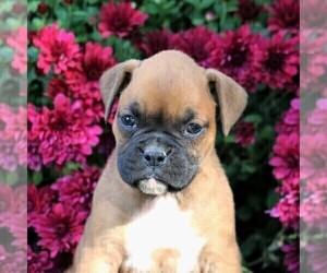 Boxer Puppy for sale in LEBANON, PA, USA
