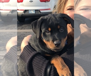 Rottweiler Puppy for sale in EL DORADO, KS, USA