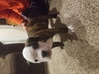 Olde English Bulldogge Puppy For Sale in BENTON, Illinois,