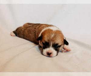Pembroke Welsh Corgi Puppy for sale in SOULSBYVILLE, CA, USA