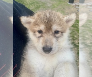 German Shepherd Dog-Wolf Hybrid Mix Puppy for sale in MONCLOVA, OH, USA