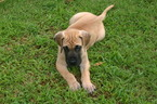 Great Dane Puppy For Sale in SHAWNEE, OK,