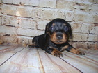 Dachshund miniature CKC Registered