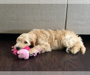 Goldendoodle Puppy for sale in LARAMIE, WY, USA