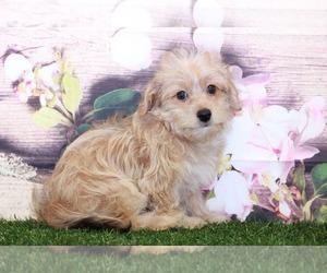Yo-Chon-Yorkshire Terrier Mix Dog for Adoption in MARIETTA, Georgia USA