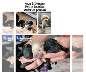 Goldendoodle Puppy for Sale in ROCKLEDGE, Florida USA