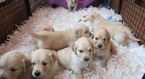 Golden Retriever Puppy For Sale in CLIFTON, NJ