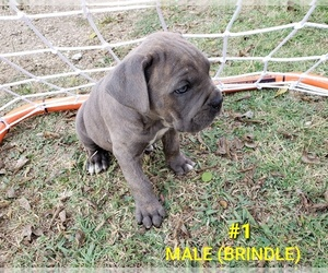 Cane Corso Dog for Adoption in ENNIS, Texas USA
