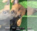 Small Photo #1 Belgian Malinois Puppy For Sale in CHANDLER, AZ, USA