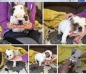 Bulldog Puppy For Sale in PORTLAND, OR,