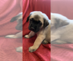 Small #13 Mastiff