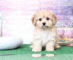 Merlin Sunky Male CavaPoo F1B Puppy