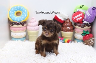 Wapoo Puppy for sale in LAS VEGAS, NV, USA