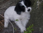Small #6 Jack Russell Terrier-Poodle (Standard) Mix