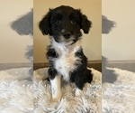 Small Aussiedoodle