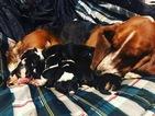 Basset hound Christmas puppies
