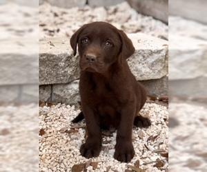 Labrador Retriever Puppy for Sale in BROOKSVILLE, Florida USA