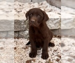 Labrador Retriever Puppy For Sale in BROOKSVILLE, FL, USA