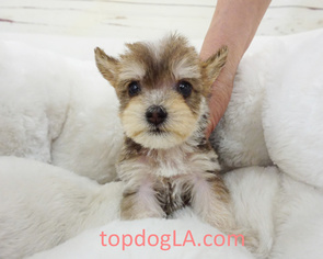 Poodle (Standard)-Yorkshire Terrier Mix Puppy for sale in LA MIRADA, CA, USA