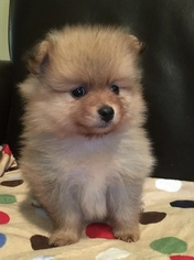 Pomeranian Puppy For Sale in MORRISON, CO, USA