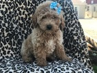 Poodle (Toy) Puppy For Sale in EAST EARL, PA,