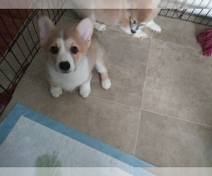Pembroke Welsh Corgi Puppy for sale in N HOLLYWOOD, CA, USA
