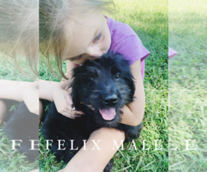 Goldendoodle Puppy for Sale in FORT MILL, South Carolina USA