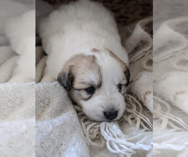 Medium Photo #30 Great Pyrenees Puppy For Sale in FALCON, CO, USA
