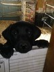 Labrador Retriever Puppy For Sale in PUEBLO, CO, USA