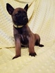 Belgian Malinois Puppy For Sale in BERRY, AL, USA