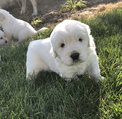 Golden Retriever Puppy For Sale in CIRCLEVILLE, UT, USA