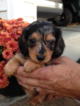 Dachshund Puppy For Sale in JAMESTOWN, KY