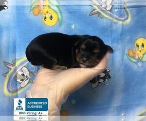 Yorkshire Terrier Puppy for Sale in WINNSBORO, Louisiana USA