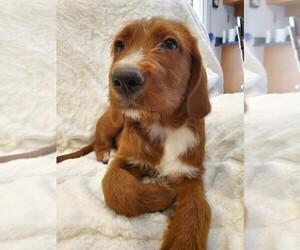 Labradoodle Puppy for Sale in MESA, Arizona USA