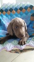 Labrador Retriever Puppy For Sale in WEST WARWICK, RI, USA