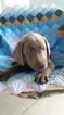 Labrador Retriever Puppy For Sale in WEST WARWICK, RI, USA