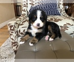 Beautiful Bernese Puppy