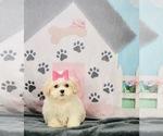 Puppy 14 ShihPoo
