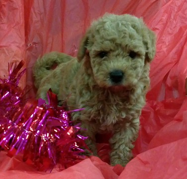 Goldendoodle (Miniature) puppy
