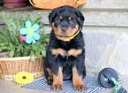 Rottweiler Puppy For Sale in MOUNT JOY, Pennsylvania,
