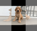 Small #60 Goldendoodle