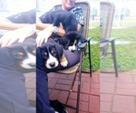 Puppy 3 Greater Swiss Mountain Dog